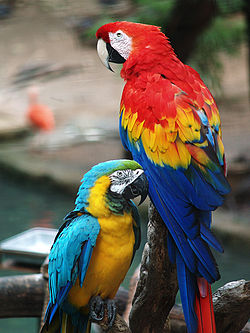 250px-Scarlet_Macaw_and_Blue-and-gold_Macaw